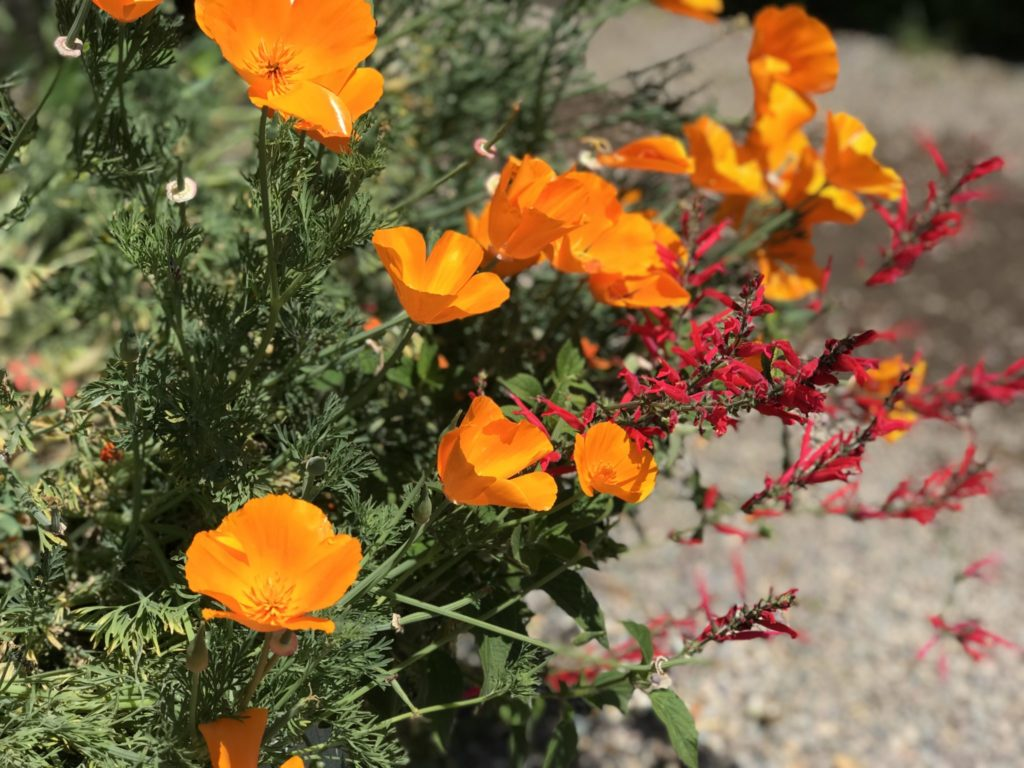 Poppy is the Calilfornia State Flower