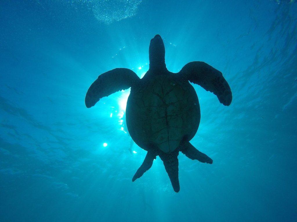 Green sea turtle floating in blue ocean off Waikiki Beach in Honolulu, Hawaii